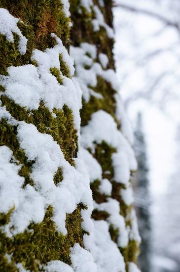 Snowmoss2